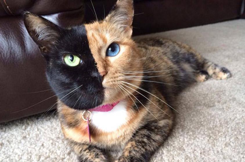 شاهد بالفيديو القط فينوس أشهر واغرب قط في العالم