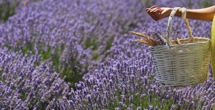 بالصور| زهور اللافندر تكسي أدرنه التركية باللون البنفجسي